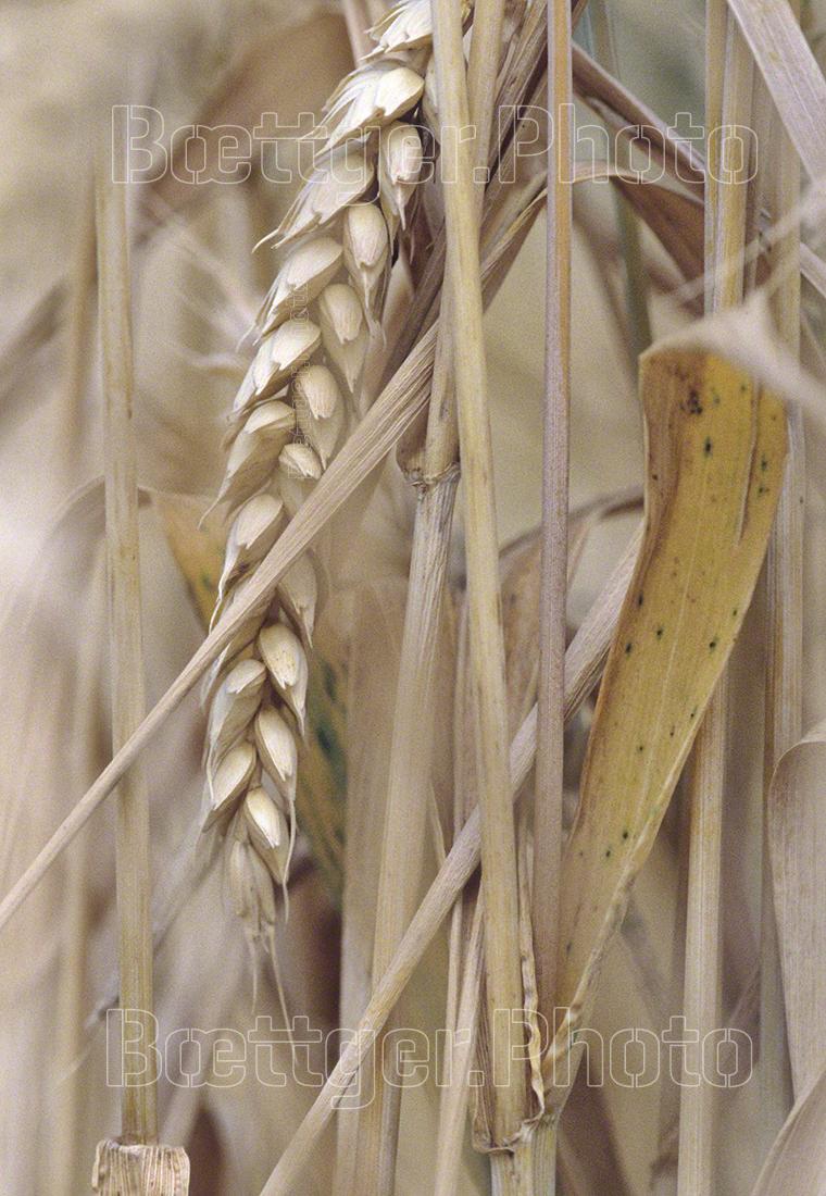 Getreideähre