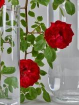 Rose Guinée